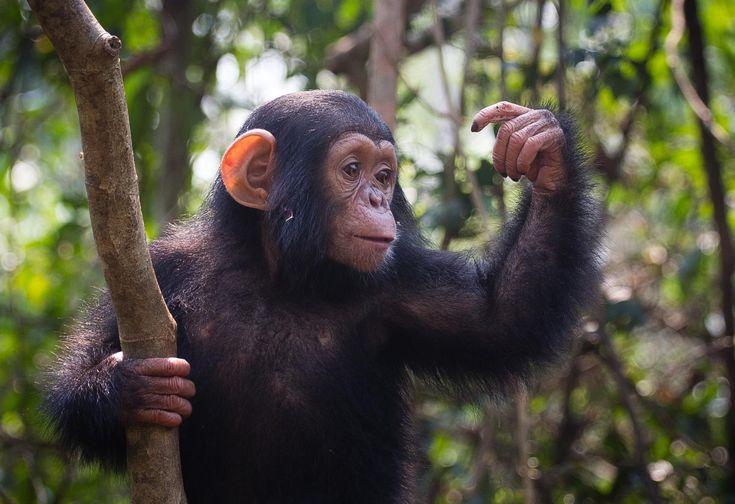 Image result for chimpanzee medicine
