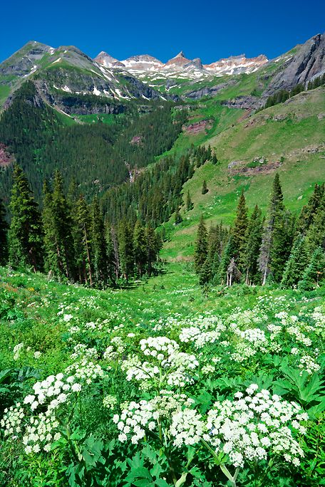 Summer - Cow parsnip in the San Juan Mountains near Silverton, Colorado