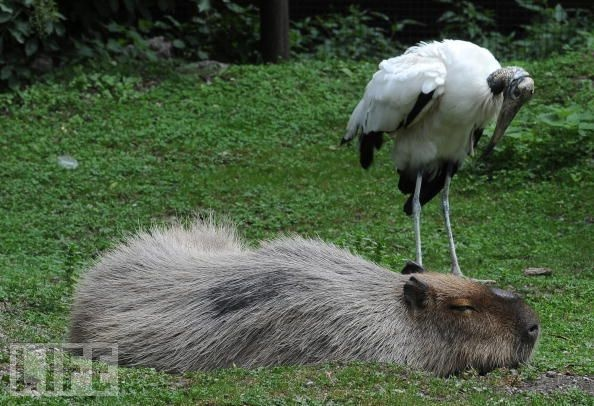 An African stork checks on a snoozy capybara, the world's largest rodent, at Schonbrunn zoo in Vienna.