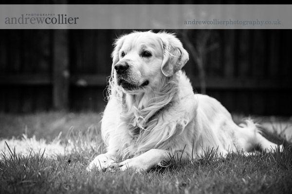 Jenson - a pet portrait session for a golden retriever