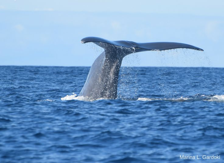 Dolphin & whale watching in São Miguel, Azores