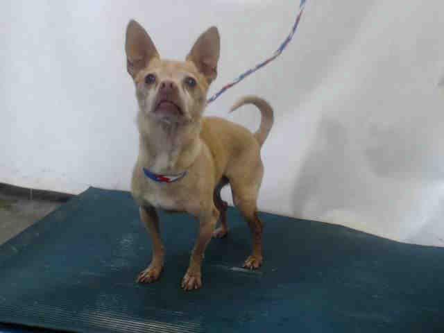 Chihuahua Dog For Adoption In Camarillo Ca Adn 733225 On
