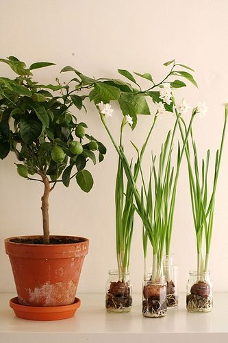 "Great indoor plants when you have spring ""itch"": love the bulbs in jars"