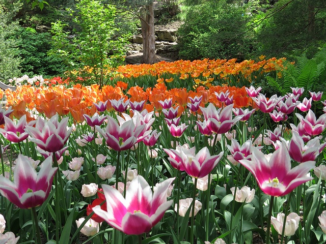 Tulips at Rock Garden Royal Botanical Gardens Hamilton Ontario Spring 2013 | Flickr - Photo Sharing!