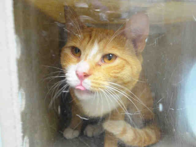 """ARTHUR - A1079876 - - Brooklyn  Please Share:   **TO BE DESTROYED 07/18/16** The ACC KILLED his PREGNANT friend, Muffy, and tonight they have their sights set on ARTHUR! This creamsicle hug machine earned a super AVERAGE rating for his incredibly friendly behavior, but that didn't win him any concessions from the """"shelter"""" once they infected him with their nasty cold. Rather than give him some antibiotics to make him better, and then find a home for him, t"""