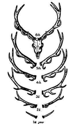 Antlers tattoo. Maybe I'll make the antlers in my tattoo sketch bigger so they go under my collarbones.