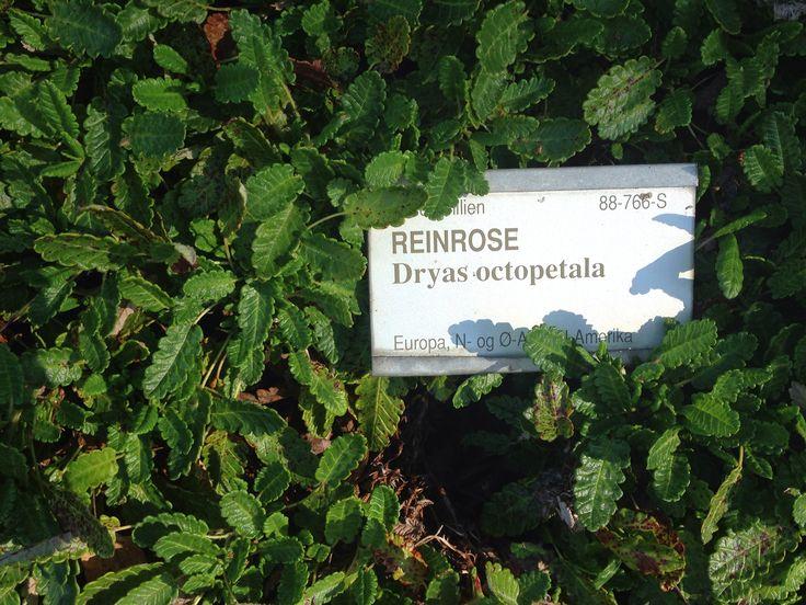 Reinrose - Dryas octopetala
