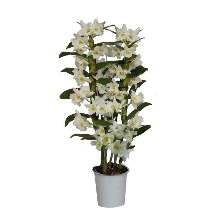 Dendrobium-Orchidee 'Apollon'