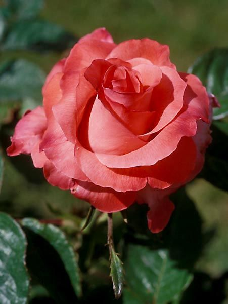 'Touch Of Class' Hybrid Tea Rose