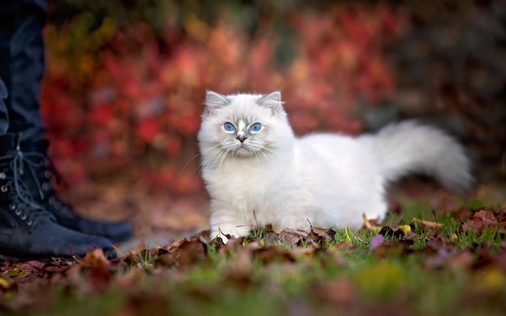 Download wallpapers Ragdoll, ??????, blue eyes, kittens, cats