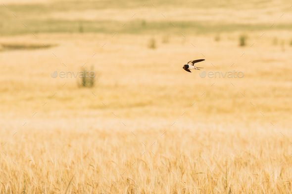 Common House Martin Wild Bird Flying Over Field With Wheat by Grigory_bruev. Common House Martin Swallow Wild Bird Flying Over Field With Wheat.