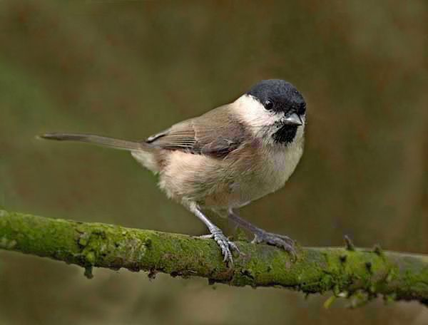 Willow Tits (Parus montanus) have dropped in numbers more than any bird