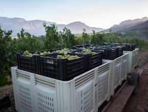Harvest at Uva Mira Mountain Vineyards.