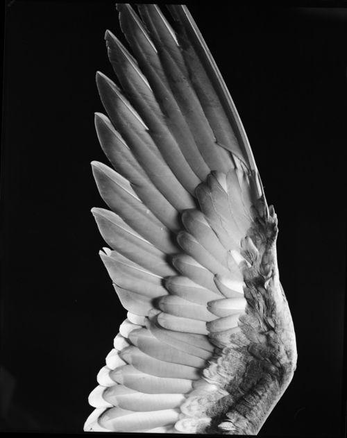 randombeauty | gacougnol: Milton Halberstadt Bird Wing undated