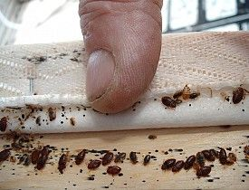 Cris Carl - 100% Effective Bed Bug Treatment Found