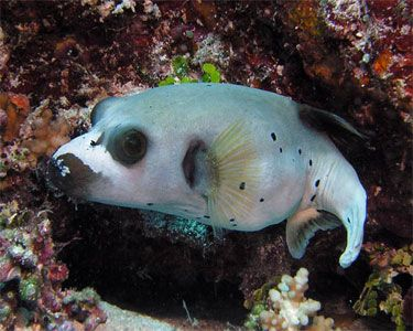 184 best puffer fish images on pinterest ocean creatures for Water dog fish