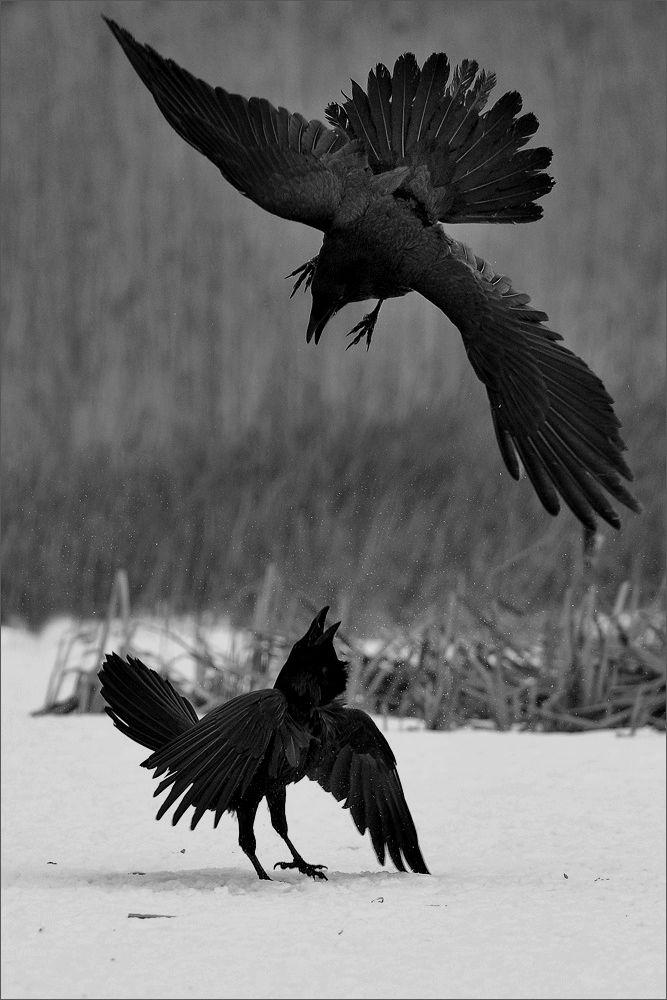 snow winter animals Black and White nature bird fight angry raven ravens crow falling snow black bird