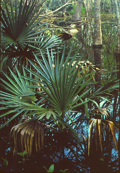 Palmetto's in the swamp. It grows all over.