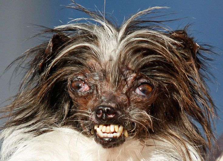 The 2-year-old rescue dog won the official title of World's Ugliest Dog this week, but his owner loves him just the way he is