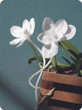 Amesiella monticola - Orchideen der Schwerter Orchideenzucht