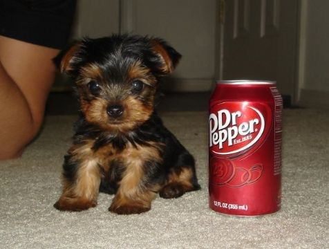 teacup yorkie, that little face