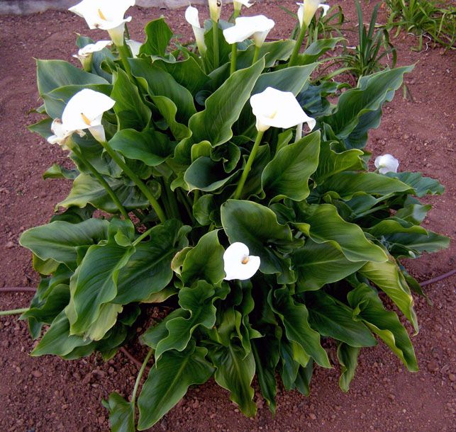 I think Calla Lilies are the answer to my flooded tiny side yard woes. They need lots of water and we have it and then there will be something to see out of the bedroom windows.