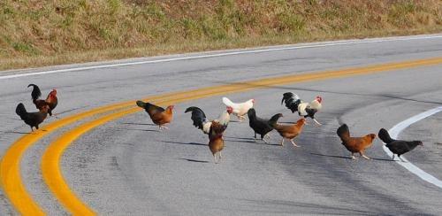 GardeningFancy Chicken, Animal Captions, Chicken Coops, Animal Express, Chicken Scratch, Chicken Chicks, Chicken Crosses, Fowl Languages, Animal Pets