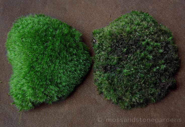 """""""When and How to Water Moss"""", includes what types of moss are good choices for which environments."""