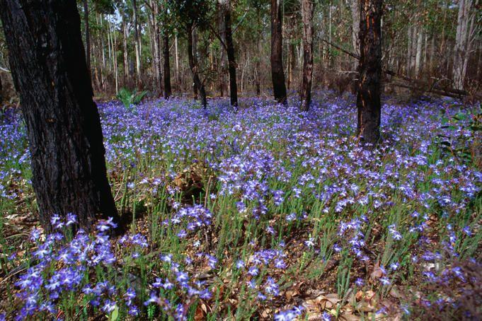 Western Australian wildflowers -Blue Leschenaultia  (Leschenaultia biloba) wildflowers, Nannup.