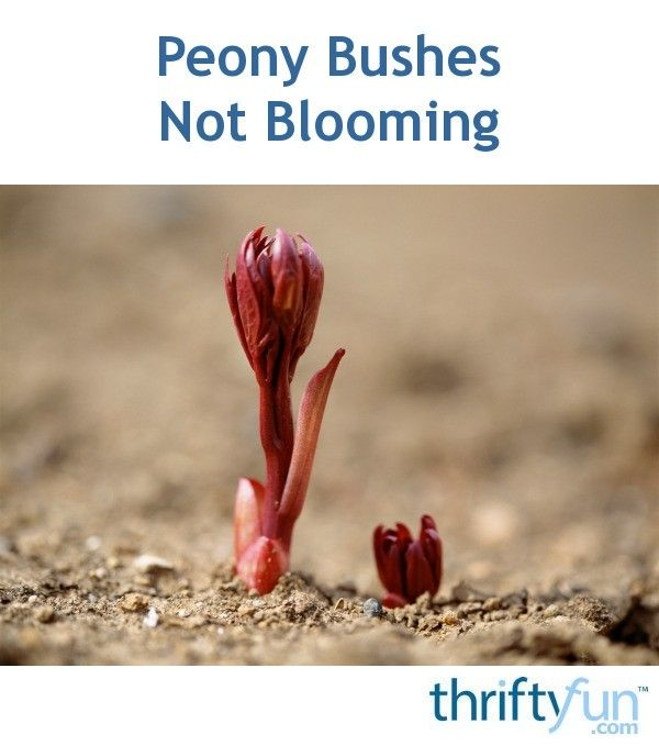 The reasons that your peonies are not blooming include, planting too deeply or dividing too late in the previous summer. This is a guide about peony bushes not blooming.