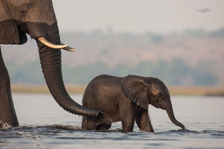 Baby elephant in the Chobe river.