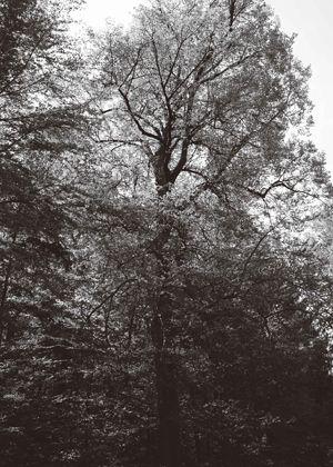Methusalem Linde - Als Methusalembäume werden Bäume ab einem Durchmesser von…