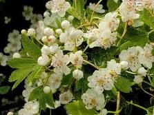 Herbs-Treat and Taste: HAWTHORN: HEALTH BENEFITS OF HAWTHORN, USES AND HISTORY: HAWTHORN LIQUEUR CHOCOLATE RECIPE