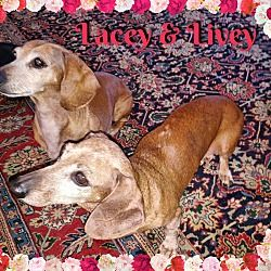 Green Cove Springs Florida Dachshund Meet Lacy Adoptable