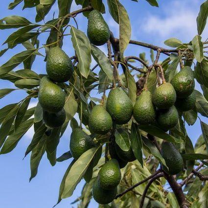 Hass Avocado Tree Overview