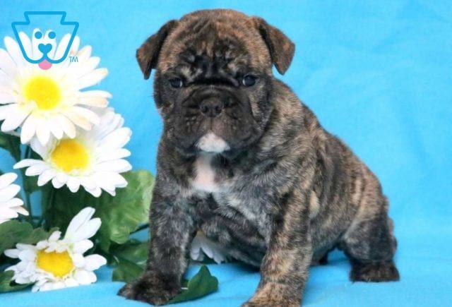 Zeus Bulldog Puppies Bulldog Puppies For Sale English Bulldog