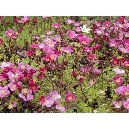 Lomikameň Arendsov priemer kvetináča cca 13cm