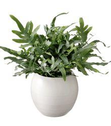 /luchtzuiverende-planten Niet in de zon    Phlebodium blue star 