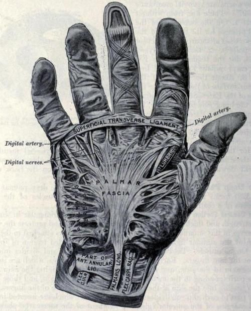 Fascia of the Palm, Anatomy: Descriptive and Surgical ...