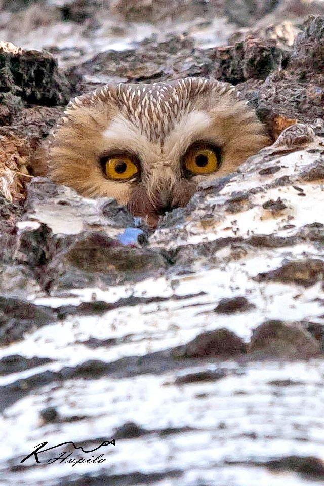 Peek-a-boo owl - link doesn't go anywhere...
