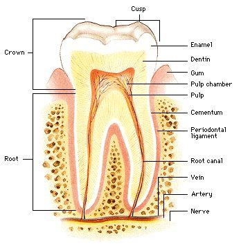 Dental Anatomy Vocabulary Flashcards - ProProfs