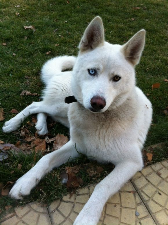White Siberian Husky Puppy Dog Puppies Dogs Huskies