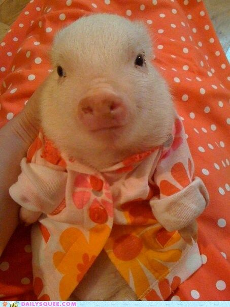 piggie in a shirt!!