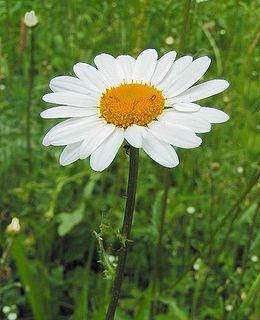 Chrysanthemum leucanthemum - Réti margitvirág