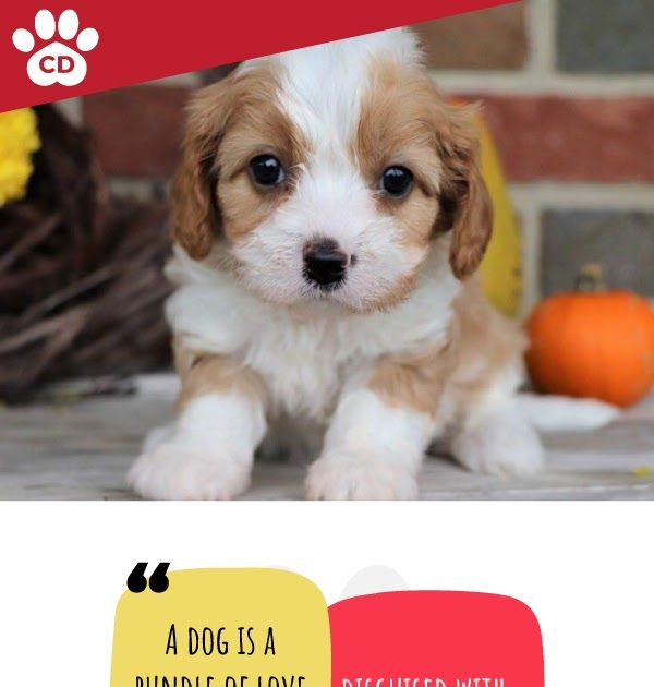 Crockett Doodles Family Raised Doodle Puppies For Sale Shady Acre Kennels We Have Lots Of Puppies To Choose Teddy Bear Puppies Puppies For Sale Teacup Puppies