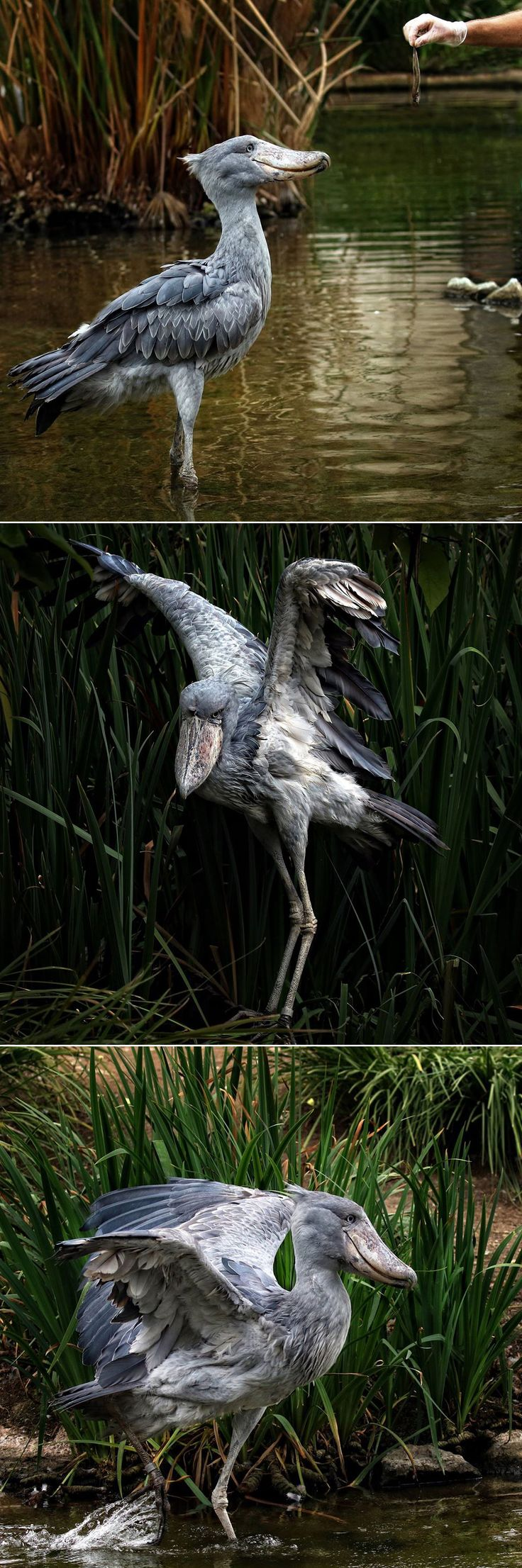 """The shoebill stork has an impressive bill that resembles a Dutch wooden shoe. Although related to storks, the shoebill's unusual bill and other characteristics place it in a family all its own. It is often compared to a statue, as the bird stands still for long periods of time in marshes, waiting for a fishy meal to surface. This """"freeze-and-seize strategy ensures that the stork lands its prey. (photos: Anita Ross)"""