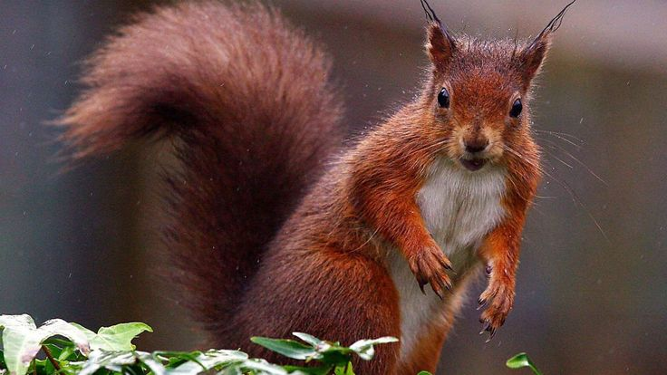 """RED SQURRELS BACK IN THE LAKE DISTRICT: """"Being able to guarantee seeing a red squirrel in the Lake District would be """"wonderful"""", Bob Cartwright from the Westmoreland Red Squirrel charity has said."""""""