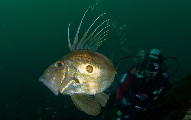 The John Dory is an active predator and eats a variety of schooling fishes and invertebrates. It lives in a wide depth range, from 15 feet (5 m) to 1200 feet (360 m) and usually stays near the seafloor, over both soft and hard bottoms. John Dories are medium-sized predators in the systems in which they live. They reach lengths of approximately two feet (65 cm) and weights of a few pounds. Larger bony fishes and sharks are known to feed on John Dories.