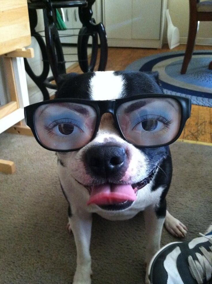 Check out this Funny Boston Terrier Dog with Human Eyes (PHOTO) - http://www.bterrier.com/check-out-this-funny-boston-terrier-dog-with-human-eyes-photo/ http://www.facebook.com/bterrierdogs