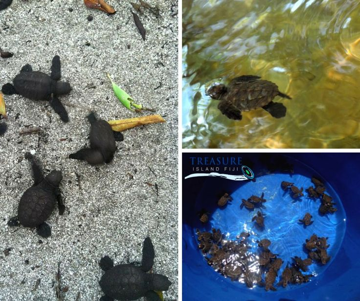 Born 22/02/2015 - 125 hatchlings in total! Safely housed in our turtle ponds as part of our Hawksbill Turtle conservation program. Come see!